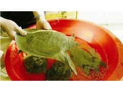 甲鱼专用饲料 万寿菊提取