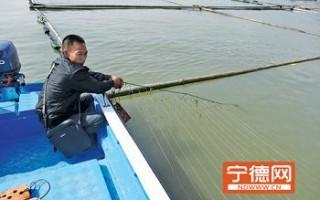 福建霞浦县多地海带苗染病 种苗价格上涨