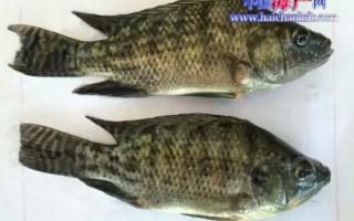 警惕:大陆养殖罗非鱼首次确诊类立克次