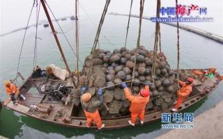 山东烟台莱州市42万亩扇贝丰收产值7.95亿元