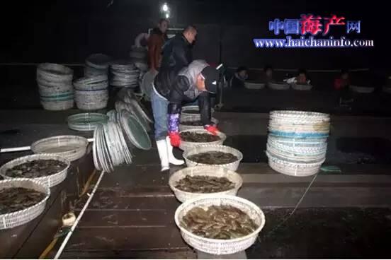 福建宁德霞浦海参养殖户放苗停止 增加不如预期