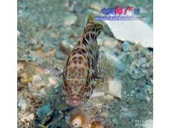 供应石斑鱼