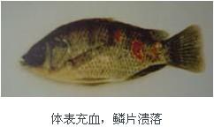罗非鱼养殖之皮肤溃烂病症状及防治技术