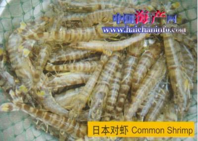 日本对虾的几种收捕法