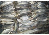 冷冻鱼糜;鲷鱼;狗母鱼;杂鱼;带鱼;吧哴鱼;竹叶鱼;刺鲳鱼;速冻食品;青皮鱼