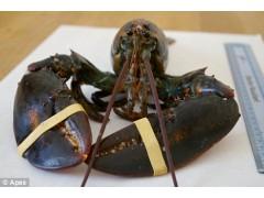 鲜活加拿大龙虾