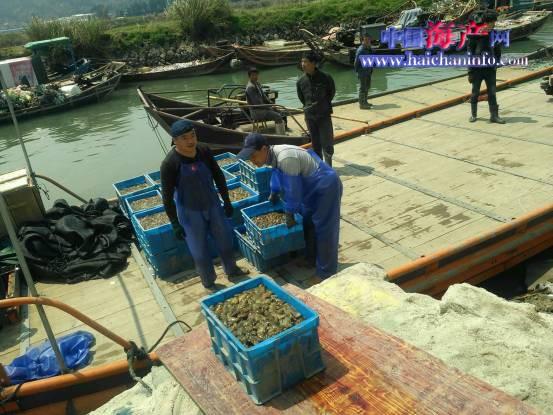 福建霞浦鲜海参销量已超七成,大连葫芦岛苗成参热卖