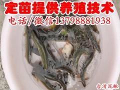 资中县威远县台湾泥鳅寸苗,台湾泥鳅寸苗批发