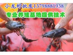 京山县/小龙虾价格/小龙虾养殖技术/沙洋县