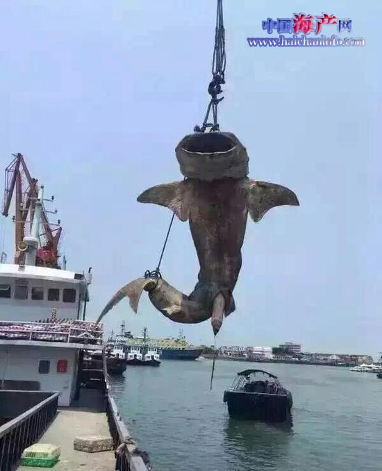 网传鲸鲨广西北海遭捕杀 官方调查发现可疑船主