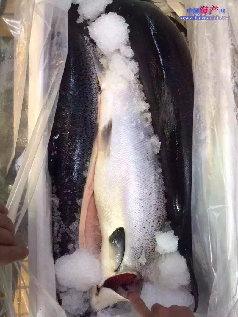 挪威三文鱼 (3)