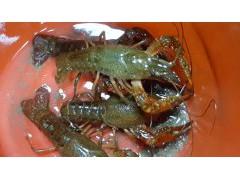 龙虾苗养殖技术龙虾苗价格养殖小龙虾一苗地利润多少