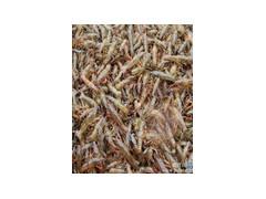 淡水龙虾基地常年供小龙虾种龙虾苗包技术包回收全程专业指导