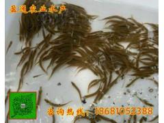 射江县台湾泥鳅鱼苗批发专业首选幼苗养殖技术要点泥鳅批发商