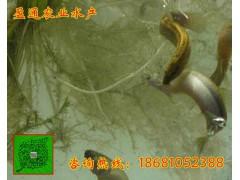 威远县台湾泥鳅种鳅批发专业首选母鳅养殖技术要点泥鳅批发商