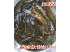 洪雅县泥鳅种苗养殖基地_泥鳅种苗大量供应