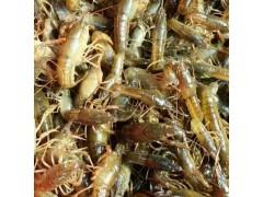 哪里有龙虾苗繁殖基地现在龙虾苗多少钱一斤