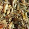 哪里有龙虾苗繁殖基地现在多少钱一斤