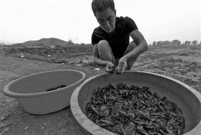 浙江宁波:小龙虾提前上市 价钱略高于往