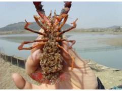 厂家出售小龙虾虾苗种虾包回收包成活免费提供养殖技术