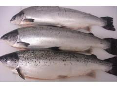 批发鲜活海鲜 冷冻三文鱼 三文鱼价格  原产地:挪威