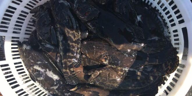 暴雨来袭,石斑鱼价格依然坚挺,最高上涨2元/斤