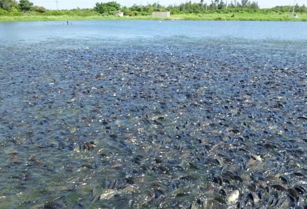 多家罗非鱼加工厂面临停产或倒闭,巴沙鱼强势入局,要替代罗非鱼?