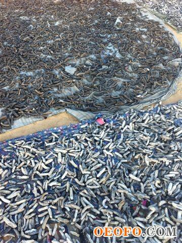 地中海极品干海参,100%纯野生,无盐,无砂,无污染,根据欧盟高标准做成,营养价值极高