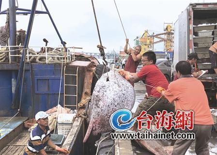 开渔一月海上逐鲜 渔船满舱最大一条200多斤 厦门老百姓可大快朵颐了