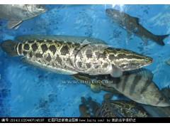 长期大量出售黑鱼