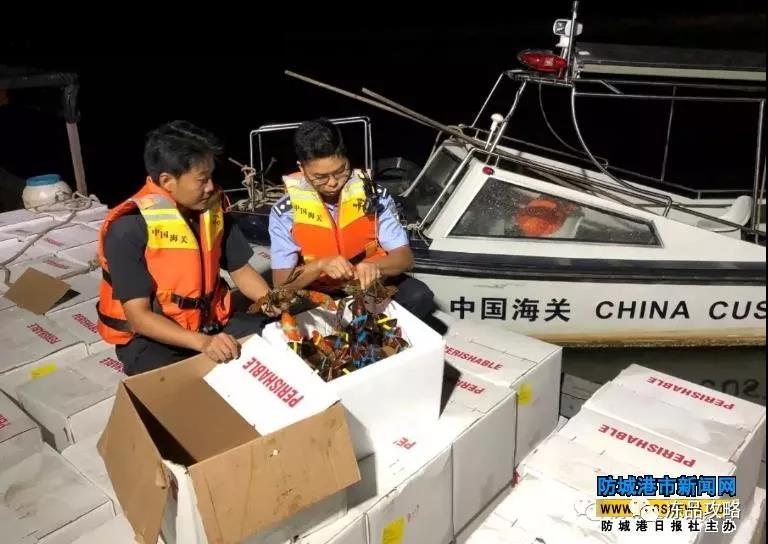 东兴海关查获1.67吨涉嫌走私进境的鲜活龙虾