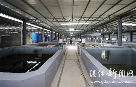 广东湛江雷州东里镇工厂化循环水养殖石斑鱼成效初显