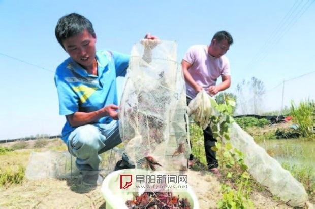 村民稻田养龙虾 每亩净利润6000多元