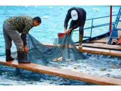 穗乐鲜深海大黄鱼批发,渔场直销