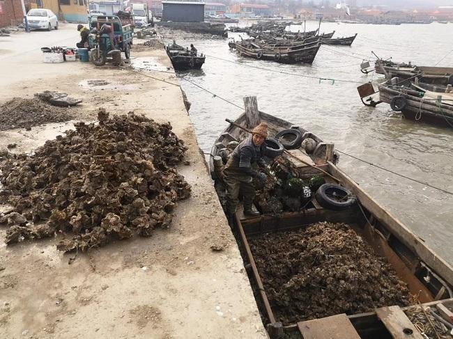 即墨鳌山卫海蛎子迎来大丰收!一条小船收3000斤!
