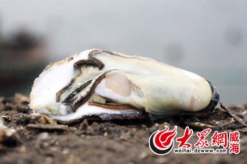 山东威海乳山网红牡蛎解锁海洋经济新动能