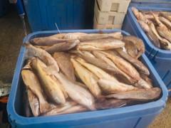 美洲黄鱼,沙丁鱼