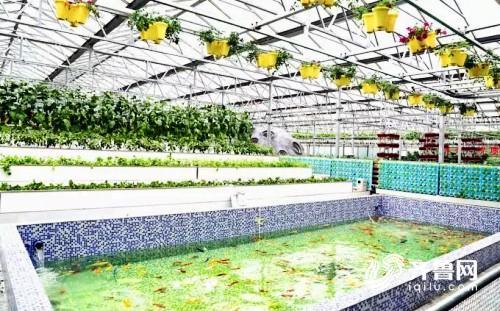 养鱼不换水、种菜不用肥 鱼菜共生这项前沿科技将亮相寿光菜博会  来源: