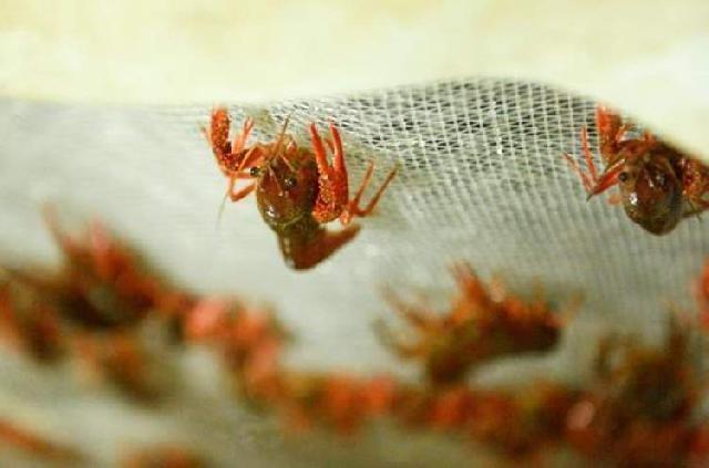 上海:小龙虾大量上市!菜场有卖25-40元一斤的便宜虾了