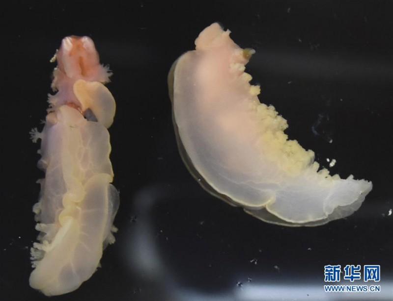 海参?我是海兔!科学号在西太平洋采集到稀有深水海兔
