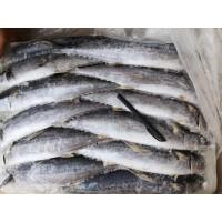 船冻渤海鲅鱼10号每条1.5-2斤 量大