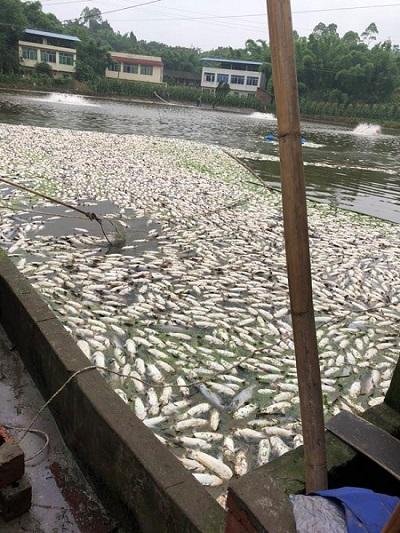 粗心渔药经销商卖过期渔药给养殖户,导致斑点叉尾鮰大量死亡,赔了63.6万元