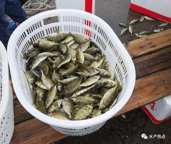 南美白对虾难养,虾塘兴起精养蓝子鱼,鱼价高达26元/斤!