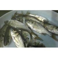 3至5厘米规格鱼苗,草鱼,鲤鱼,花白鲢等夏花鱼苗供应