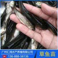 出售天津河北花鲢鱼鲤鱼草鱼,夏花鱼苗,京平鱼场大量供应