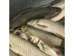 常年低价批发垂钓养殖用鲫鱼 四大家鱼 高档鱼 观赏鱼 鱼苗等 品种齐全