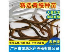黄鳝苗批发黄鳝种苗报价广东黄鳝苗养殖场