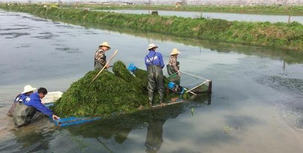 虾大小,看水草!秋冬季节养殖水草难上加难