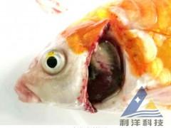 硬池养殖锦鲤死亡,检出鲤浮肿病毒