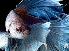 深入了解泰国斗鱼养殖与饲育